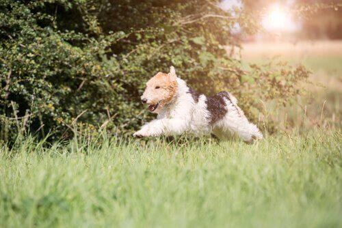 Fox Terrier che corre nel prato