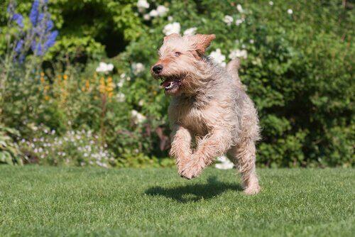 Otterhound che corre nel prato