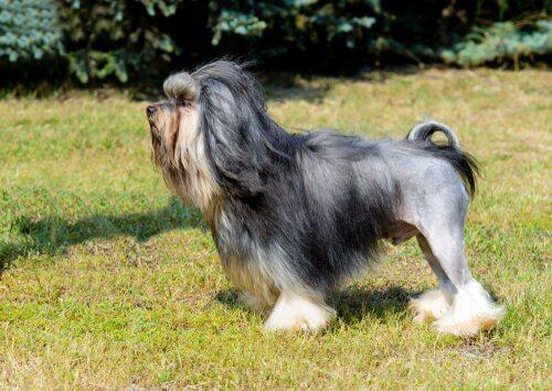 Löwchen o Piccolo cane leone nel prato