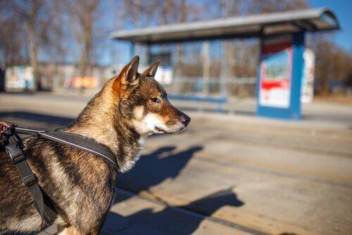cane Shikoku al guinzaglio