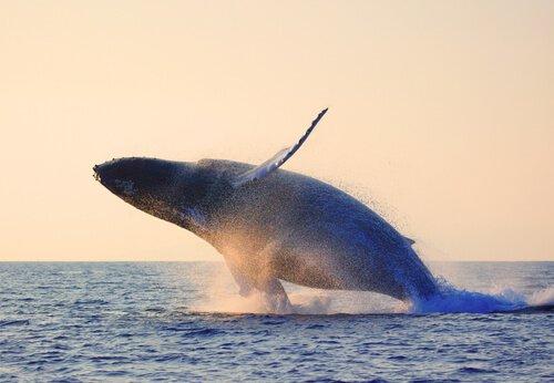 balena che salta in mare