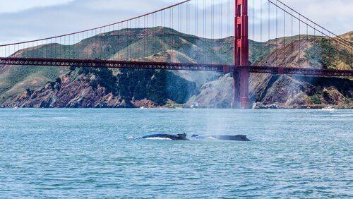 Balene a San Francisco
