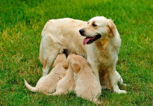 cane che allatta cuccioli nel prato
