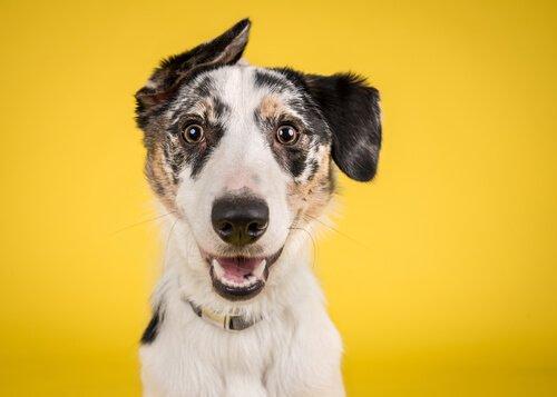 cane con orecchio alzato