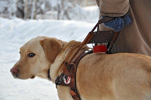 Curiosità sui cani guida per non vedenti