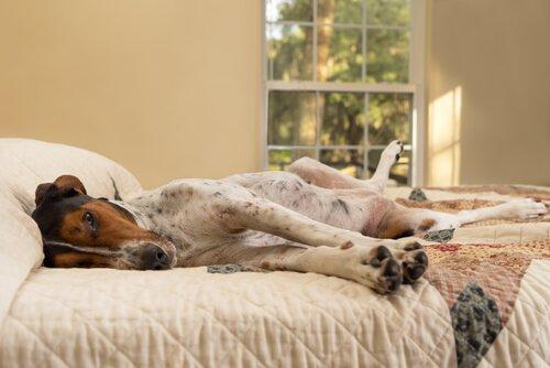 Cane sdraiato su un fianco sul letto