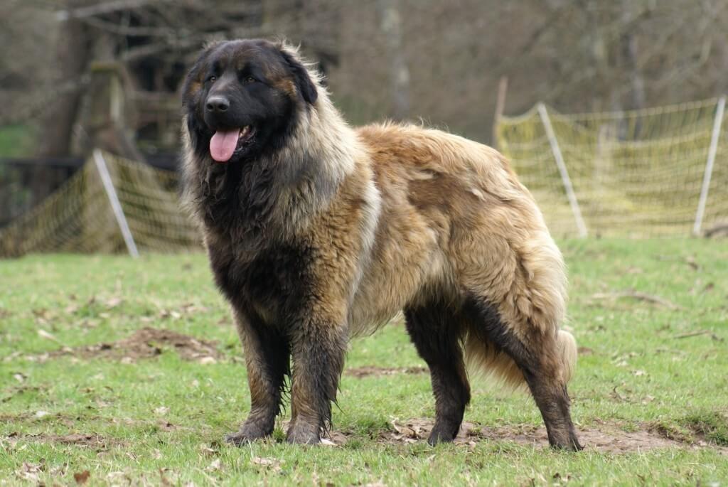 Il cane della Serra da Estrela, grande e lavoratore