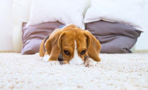 cane sdraiato sul tappeto bianco