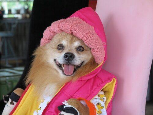 volpino vestito di rosa