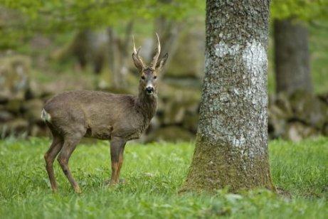 Cervo nobile nel bosco