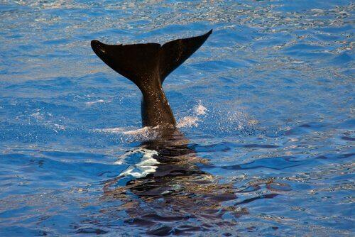 Coda della balena che fuoriesce dall'acqua