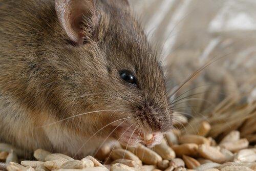 Come combattere un'infestazione di topi?