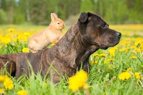 coniglio appoggiato sul dorso di un mastino