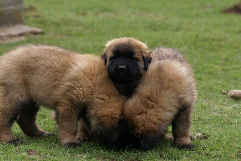 Cuccioli di cane della Serra da Estrela