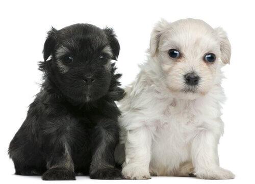 cuccioli di Löwchen