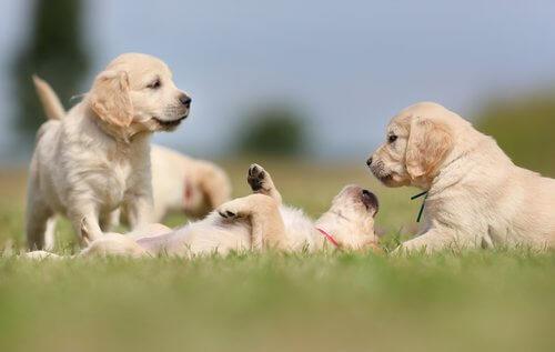 cuccioli di golden retriever che giocano sul prato