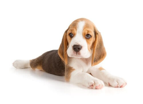 cucciolo di Beagle sdraiato