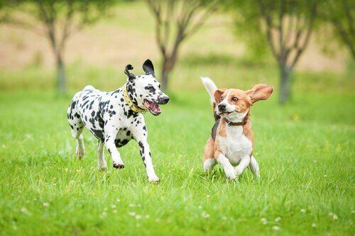 Cibo e integratori per cani sportivi