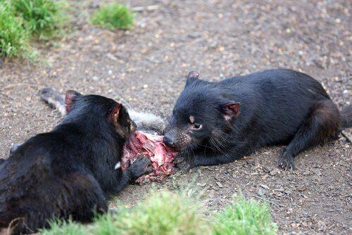 due diavoli della tasmania mentre mangiano