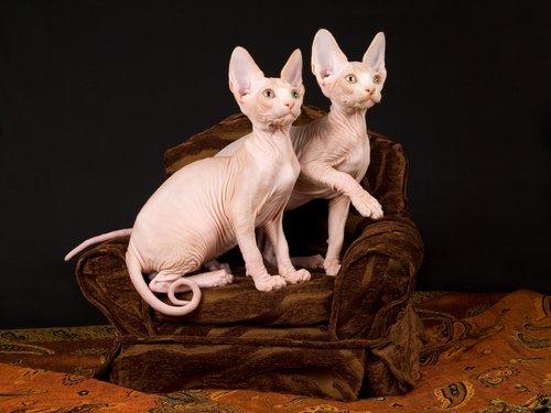 due gatti sphynx cuccioli su una sedia