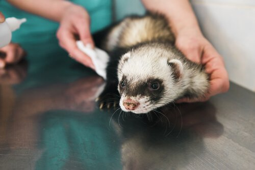 Furetto durante una visita dal veterinario