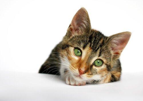 gatto appoggiato sul tavolo bianco