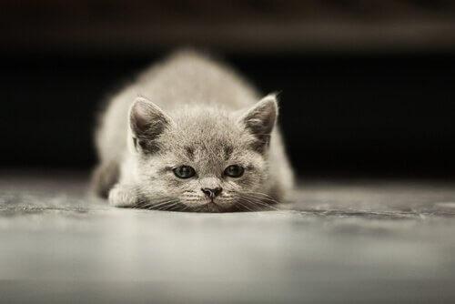 I tumori più comuni nei gatti