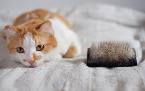 gatto sul letto con spazzola