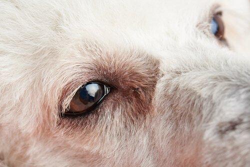 Sintomi di congiuntivite nei cani: cosa fare?