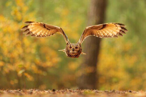 il volo di un Gufo reale visto di fronte