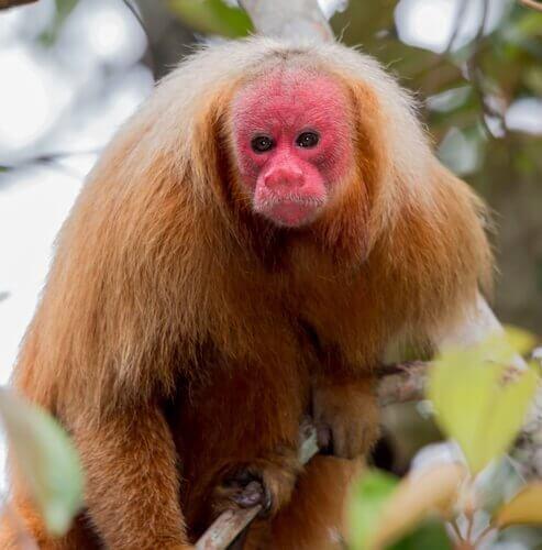 la scimmia uacari della foresta amazzonica