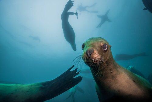 Leone marino: caratteristiche, comportamento e habitat