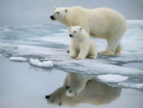 mamma e piccolo di orso polare specchiati nell'acqua