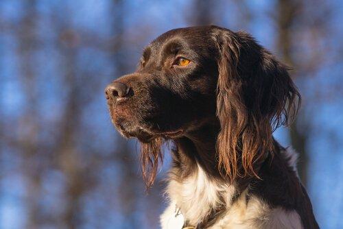 Piccolo Munsterlander, un cane da caccia favoloso
