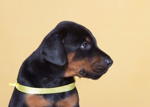 Un nastro giallo permette al cane di avere il suo spazio