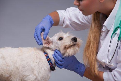 veterinaria pulisce le orecchie di un cane