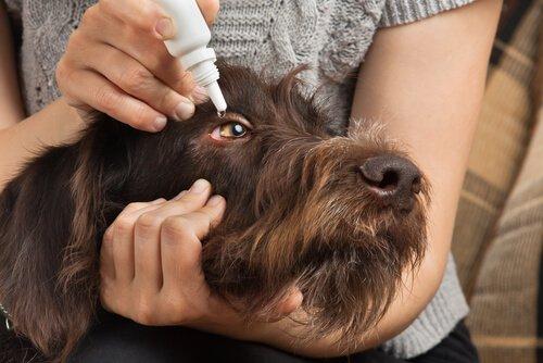 Padrona applica del collirio nell'occhio del suo cane