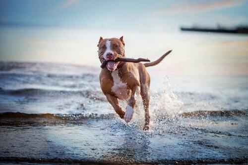 Pitbull corre sul bagniasciuga con bastone tra i denti