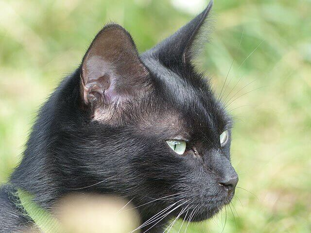 un grasso nero micio