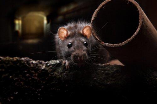 ratto nella fogna