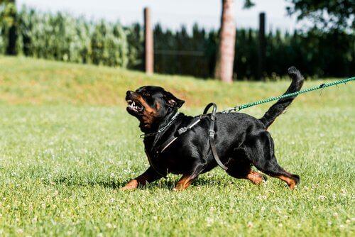 Rottweiler aggressivo al guinzaglio