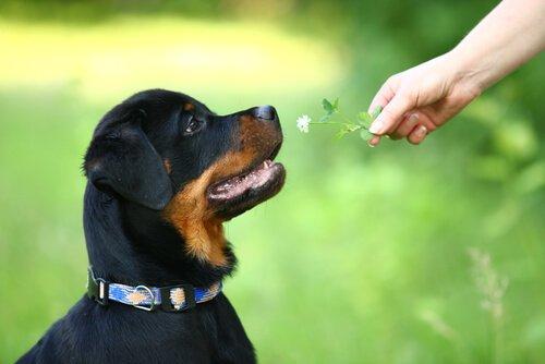 Rottweiler guarda fiore offerto da persona