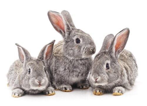 tre conigli grigi si riposano