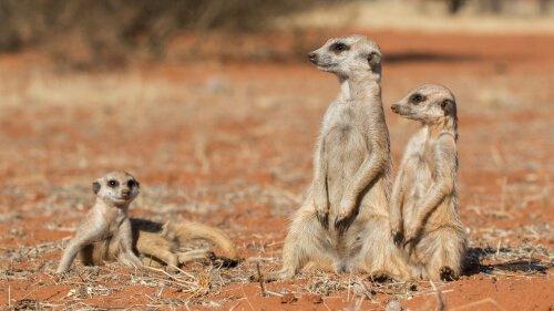 tre esemplari di suricato nel deserto