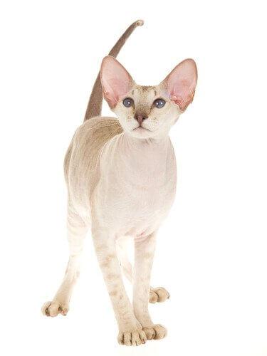 un Gatto Peterbald in piedi con la coda alzata