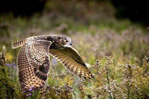 Gufo reale: caratteristiche, comportamento e habitat