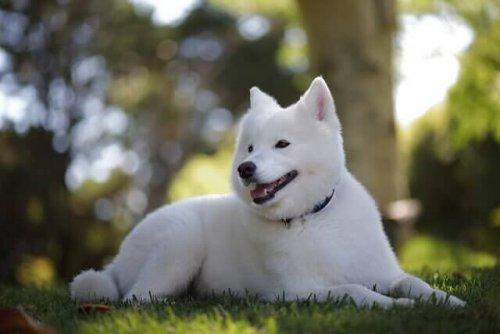Kishu: un antichissimo cane giapponese, docile e fedele