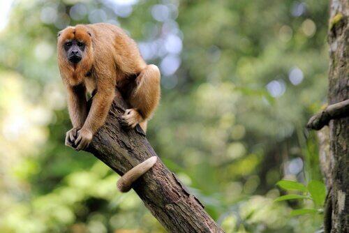 un adulto di scimmia urlatrice sulla punta di un ramo