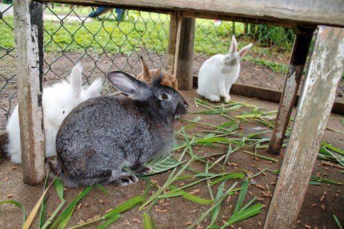 un allevamento di conigli domestici
