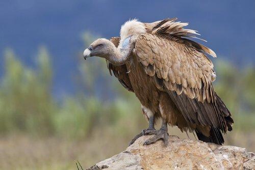 Un avvoltoio riposa su una roccia